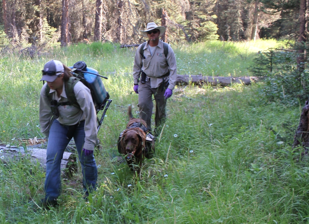 "Tasha Mohler, 'Max', and Jeffery Pettingill of Bonneville County Weed District, Idaho hike up logging roads with back pack sprayers to treat oxeye daisy. Pettingill's dog, Max, is an important member of the team carrying extra water and insect repellent for crew members.  Photo by Celestine Duncan.                                 0     false             18 pt     18 pt     0     0         false     false     false                                                          /* Style Definitions */ table.MsoNormalTable 	{mso-style-name:""Table Normal""; 	mso-tstyle-rowband-size:0; 	mso-tstyle-colband-size:0; 	mso-style-noshow:yes; 	mso-style-parent:""""; 	mso-padding-alt:0in 5.4pt 0in 5.4pt; 	mso-para-margin:0in; 	mso-para-margin-bottom:.0001pt; 	mso-pagination:widow-orphan; 	font-size:12.0pt; 	font-family:""Times New Roman""; 	mso-ascii-font-family:Cambria; 	mso-ascii-theme-font:minor-latin; 	mso-hansi-font-family:Cambria; 	mso-hansi-theme-font:minor-latin;}"