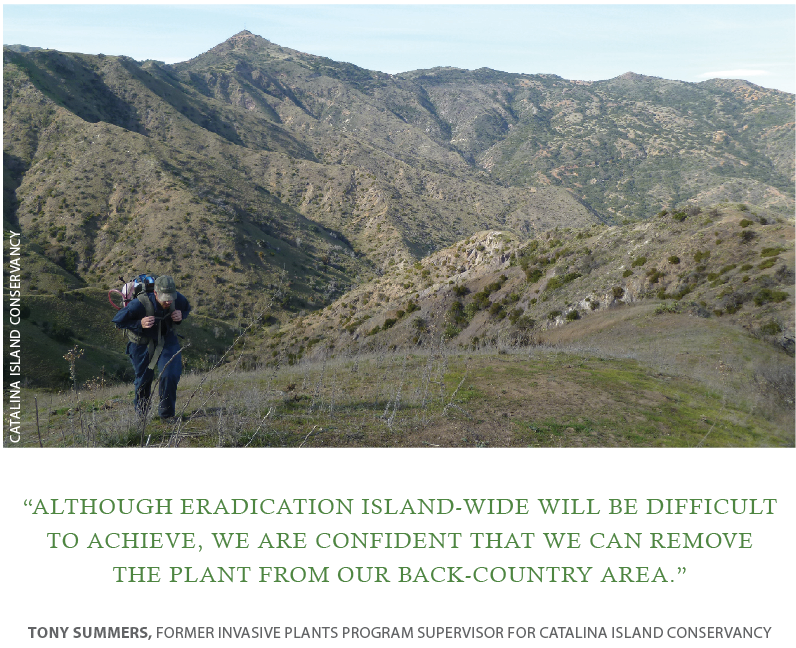 Treating scattered infestations of invasive plants in the backcountry of Catalina Island.