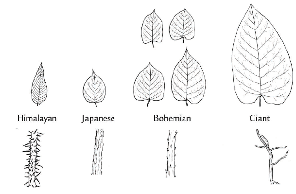 Figure 1. Variation in leaf shape and hairs on the underside veins of leaves for four invasive knotweed species. (Images by Cindy Roche)
