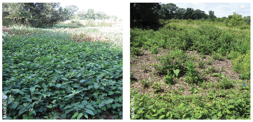 BEFORE AND AFTER. Japanese knotweed plants were mowed in summer and treated with Milestone herbicide at 13 fl oz/A in the fall (left) when plants were 3 to 4 feet tall. These treatments provided good to excellent control 10 months later (right).