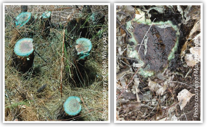 Figure 2. Comparison of a basal cut stump application (left) and cut stump (right). For basal cut stump applications, apply the herbicide solution to sides of the stump, including the root collar area, and outer portion of the cut surface (cambium) until thoroughly wet but not to the point of runoff. Cut stump applications should be made by applying the herbicide in a continuous ring on the cut surface of the tree.