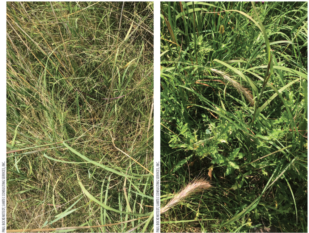 Canada thistle    and other weedy species were also controlled in the treated plot (left) compared to the non-treated control (right).