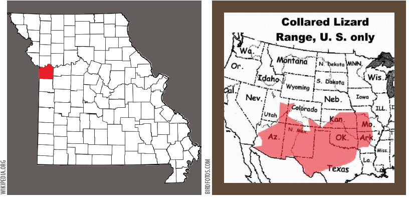 The collared lizard  (above) can reach up to a foot in length including the tail. The name comes from the lizards' distinct coloration, which includes bands of black around the neck and shoulders that look like a collar. Jackson County, Missouri (far left) is the northeastern tip of the collared lizard range (left).