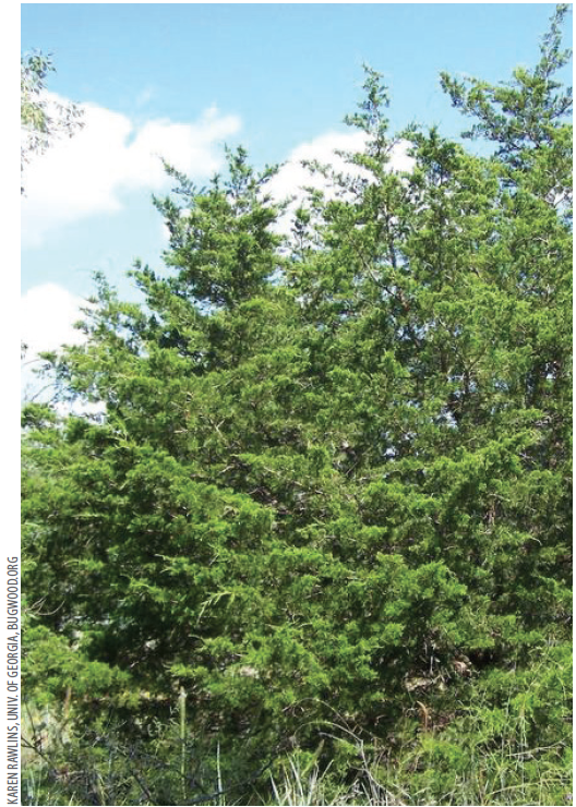 50 years of fire suppression   allowed Eastern red cedar trees to invade glades.