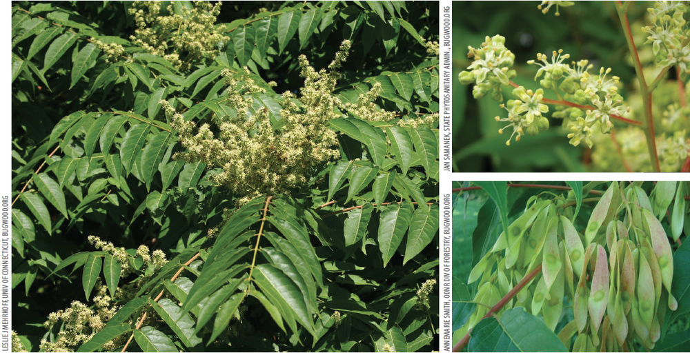 Plant Details.   Foliage and flowers, left. Flowers, top-right. Seed pods, bottom-right.