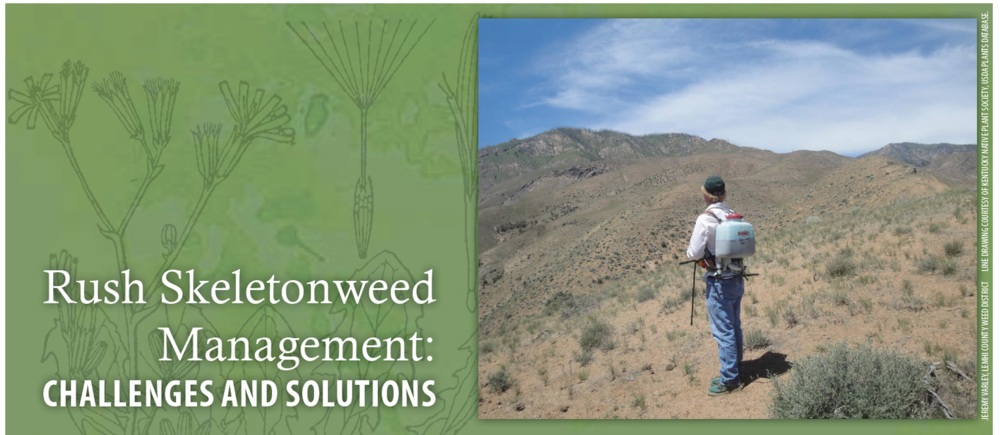 Rush skeletonweed   is often widely dispersed on steep terrain that is difficult to access.