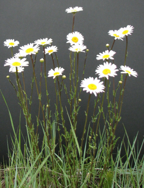 oxeye daisy.  photo source: La Plata County, colorado