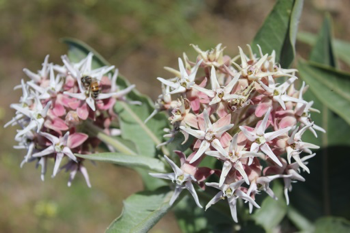 Milkweed.  Photo by Celestine Duncan