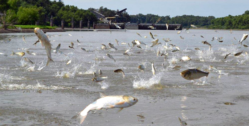 Silver Carp- can 'leap' from water up to 10 feet when frightened by boat. Asian carp regional coordinating committee .