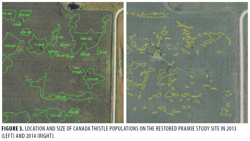 FIGURE 3.  LOCATION AND SIZE OF CANADA THISTLE POPULATIONS ON THE RESTORED PRAIRIE STUDY SITE IN 2013 (LEFT) AND 2014 (RIGHT).