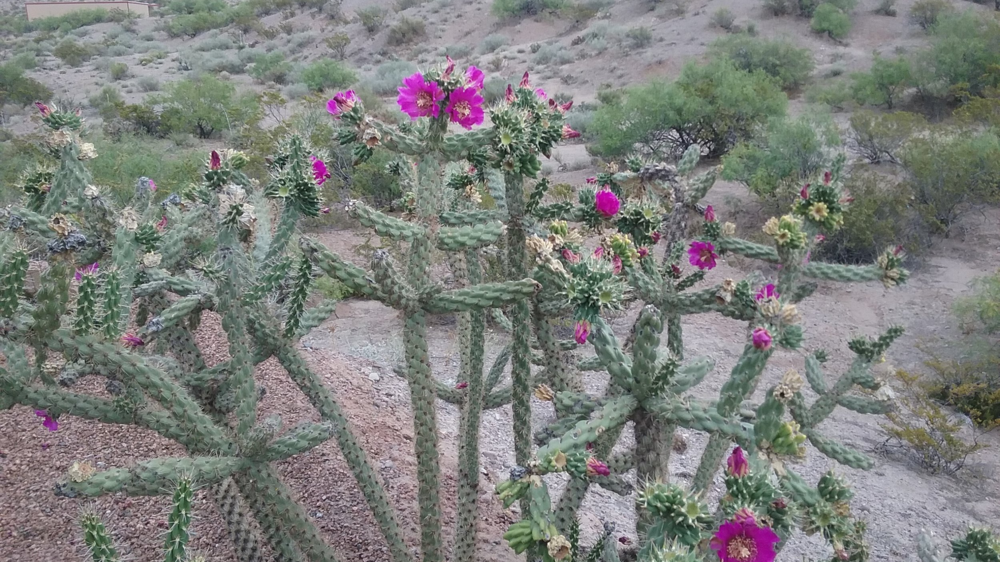 Figure 2.  Cholla is a tree-like cactus with cylindrical joints about 1 inch in diameter and 3 to 5 inches long. Cholla flowers are purple. photo by Jan Saunders