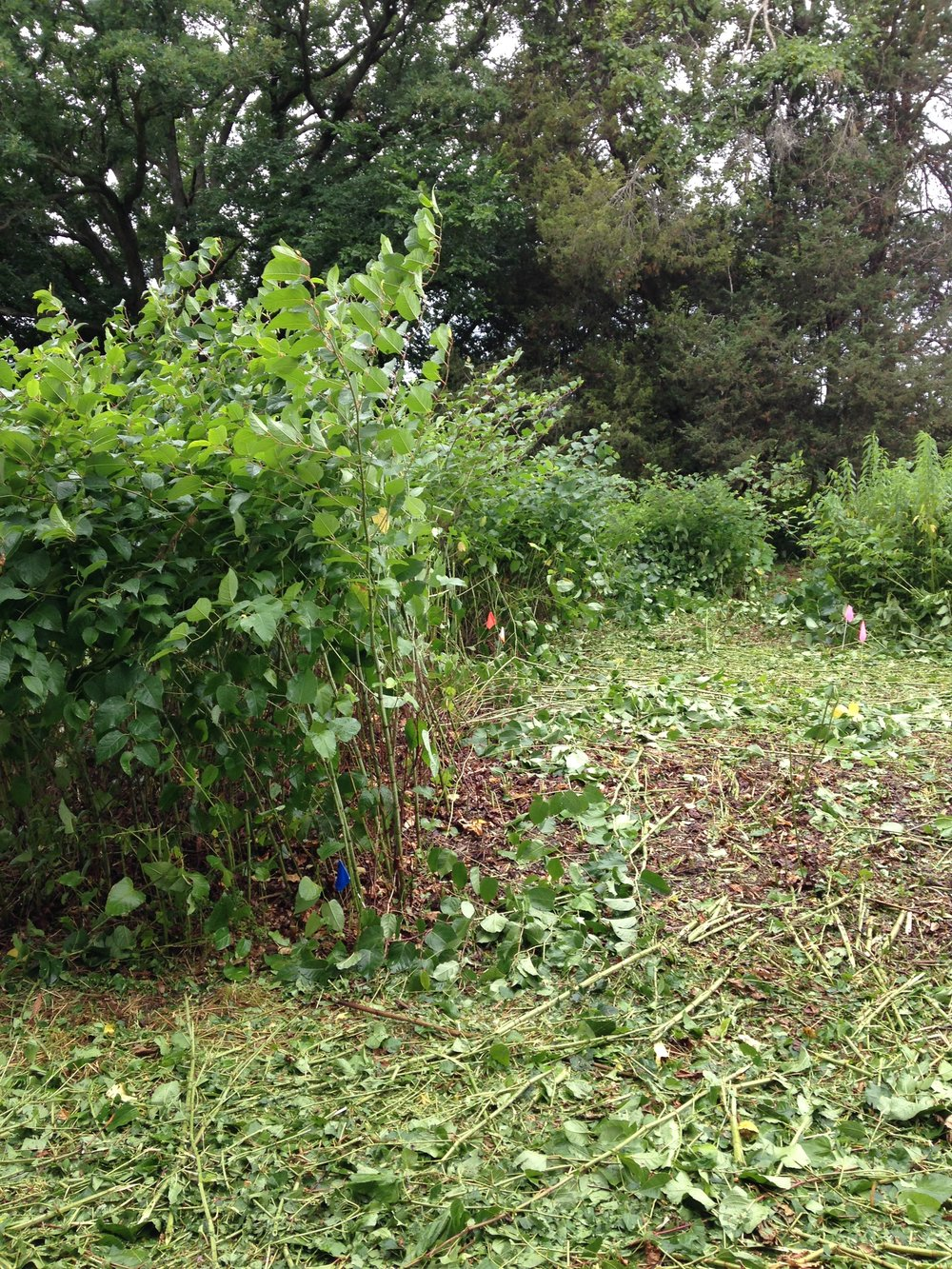 Alleys were mowed between herbicide treated plots to facilitate application.  Knotweed plants were about 7 feet tall at herbicide application.