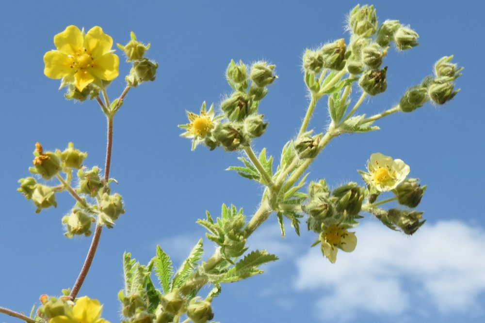 A comparison of a native cinquefoil (left) with the invasive sulfur cinquefoil (Potentilla recta, right),