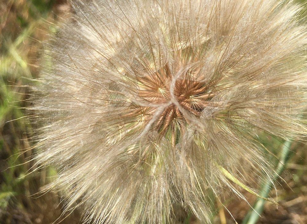 Salsify seedhead