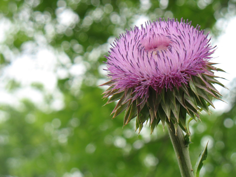 A musk thistle (Carduus nutans) in bloom at Knox College's Green Oaks Biological Field Station