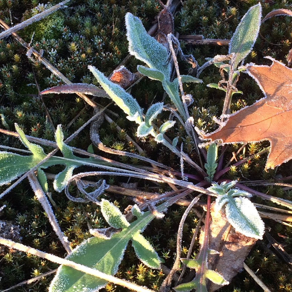 A spotted knapweed (Centaurea stoebe spp. micranthos) rosette on a frosty morning