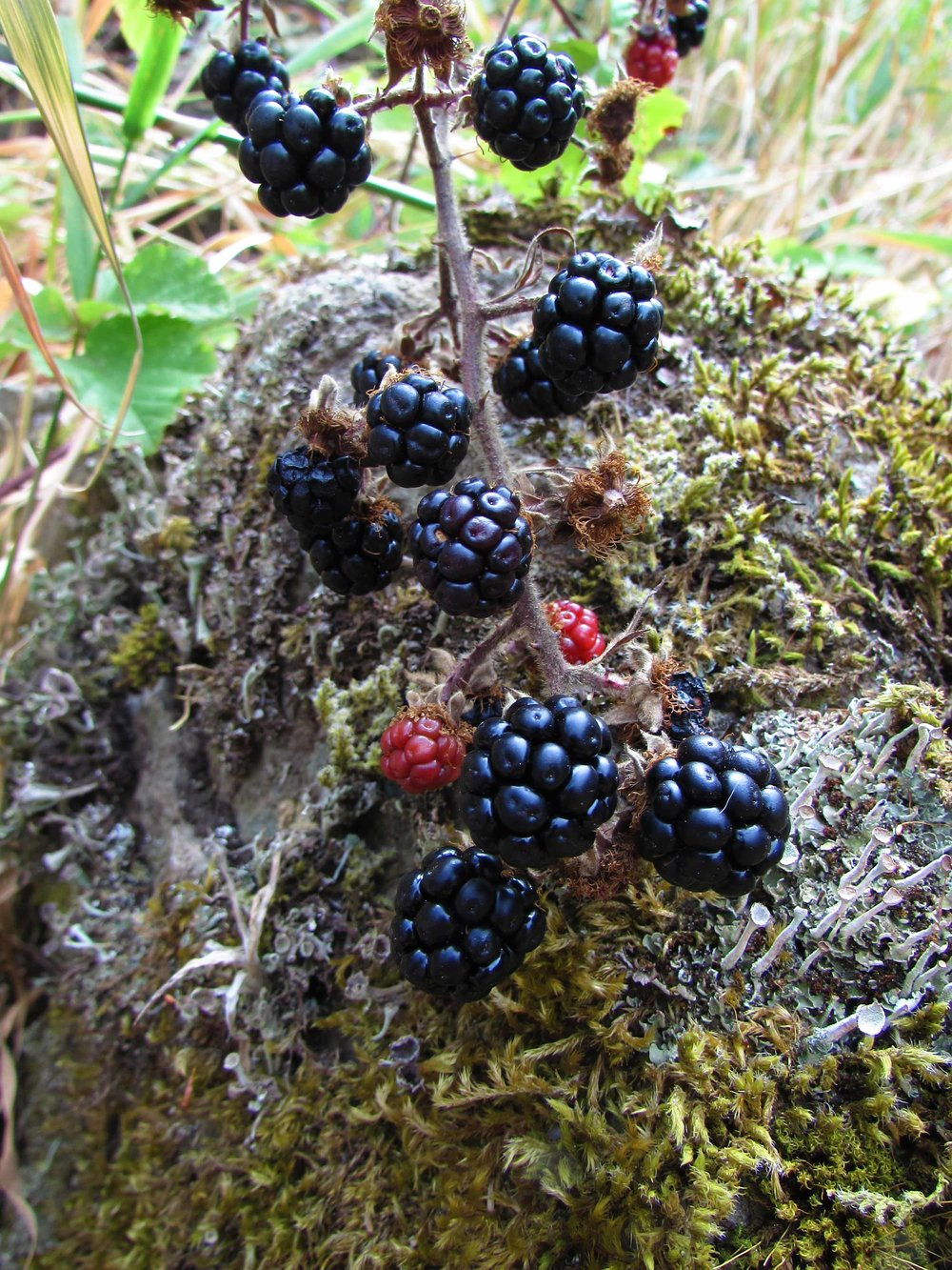 Ripe blackberries ready for the taking.