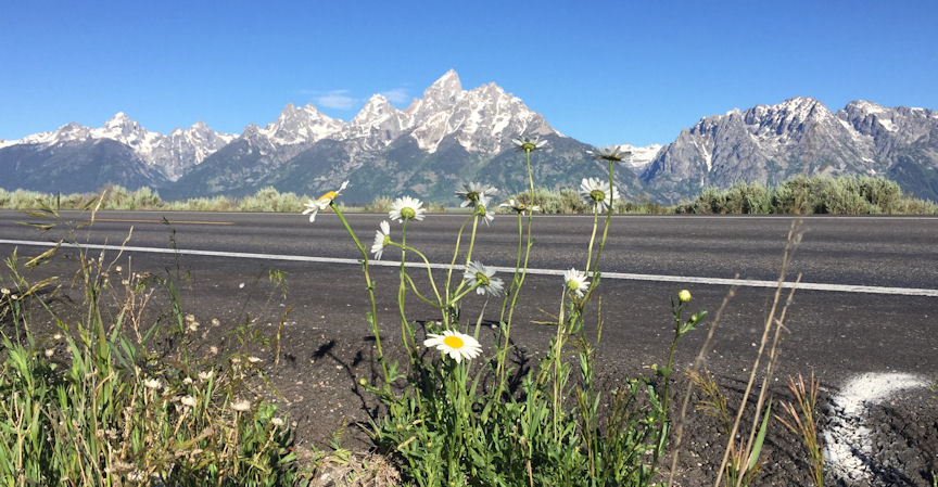 Oxeye daisy roadside in Grand Teton National Park, Wyoming