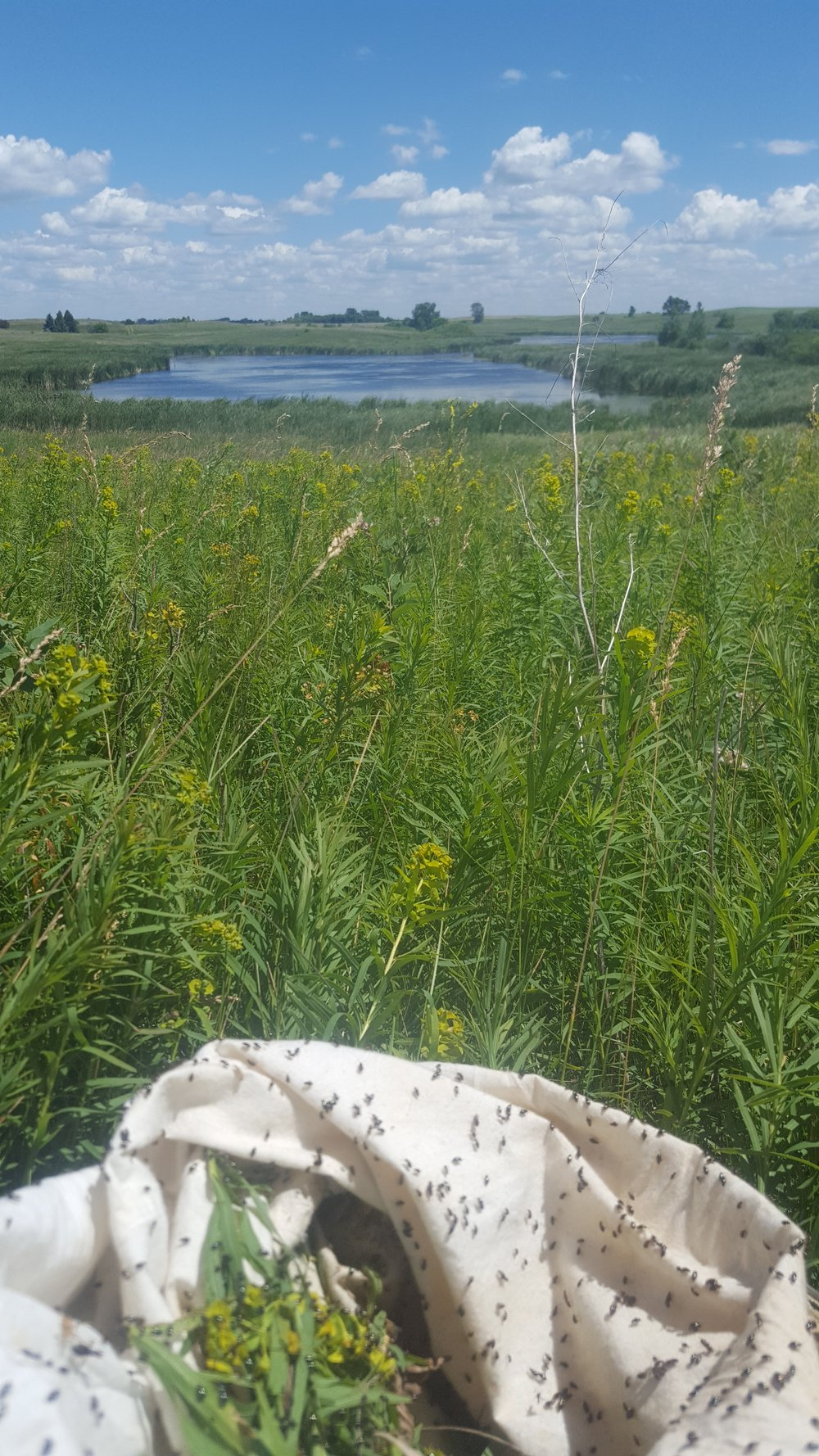 Releasing beetles to combat Leafy Spurge on a Waterfowl Production Area