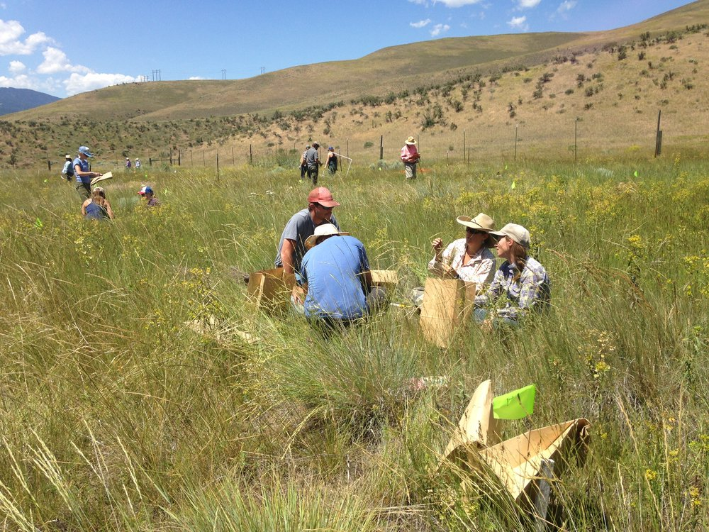 Weed managers and educators sampling a long-term leafy spurge integrated management project, near Lolo, MT