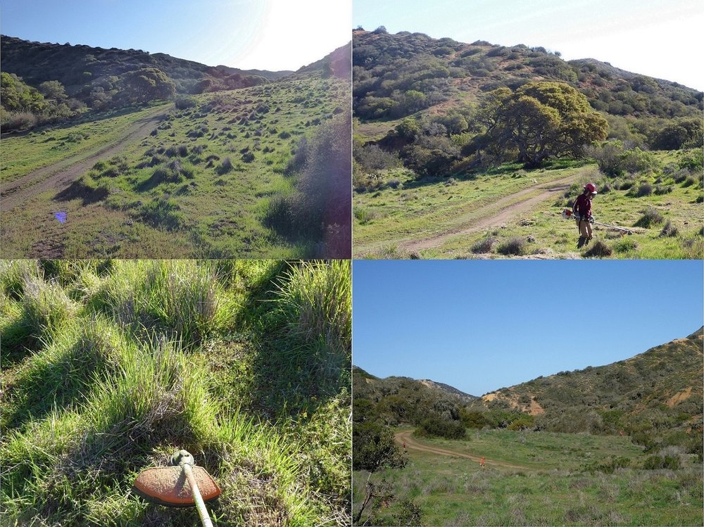 Catalina Island Conservancy's Invasive Plant Program interns mowing down Harding grass...