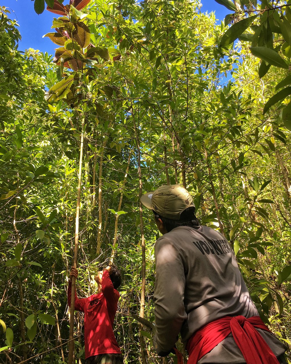 Field crew members at the Oahu Invasive Species Committee look up at a mature 30 ft Miconia calvescens plant that is slowly taking over the canopy.