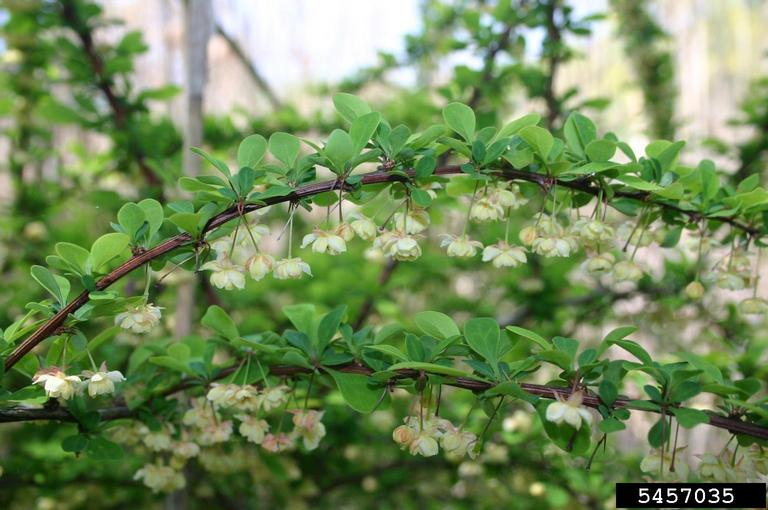 Managing Japanese Barberry in Natural Areas — TechLine Invasive