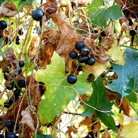 Figure 6. Berries mature to a dark purple in late summer and early fall. (Jan Samanek, Phytosanitary Administration, Bugwood.org).