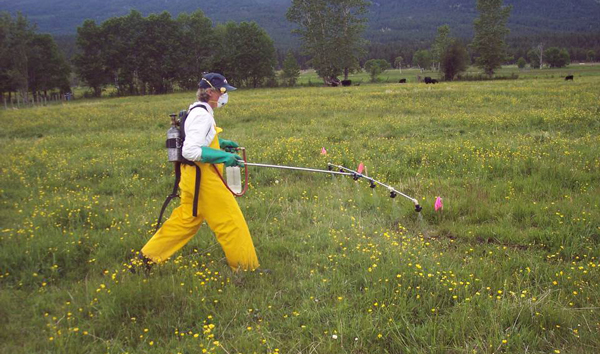 FIG. 3    Herbicides were applied with a CO2 backpack sprayer at late-bud to earlybloom growth stage.  photo by celestine duncan.