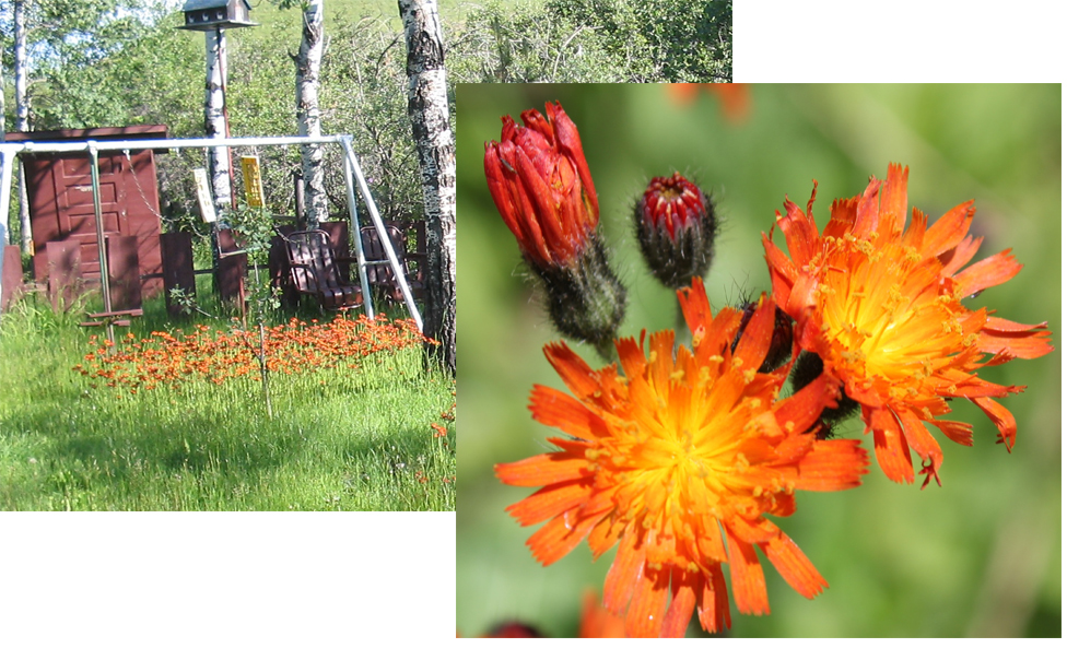 Fig. 3:  Orange hawkweed ( Hieracium aurantiacum ) is a new invader, located mainly on cabin sites in the park.  Photo by Terry Turner