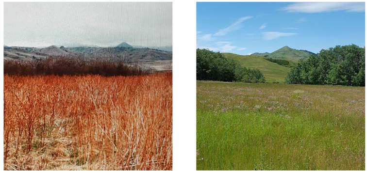 Fig. 6 : Burdock ( Arctium minus ) infestation shown in fall, 1976, in Beaver Creek Park (left) compared to the same site today, following effective management (right).  Photos by Terry Turner.
