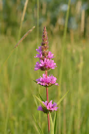 purple loosestrife-bc2.jpg