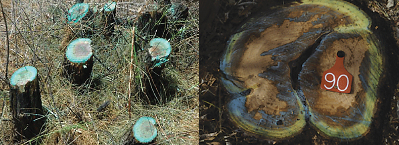 FIGURE 1: Comparison of basal cut-stump (left) and cut-stump (right) technique. Photos by Ralph Whitesides (left) and Scott Nissen (right).
