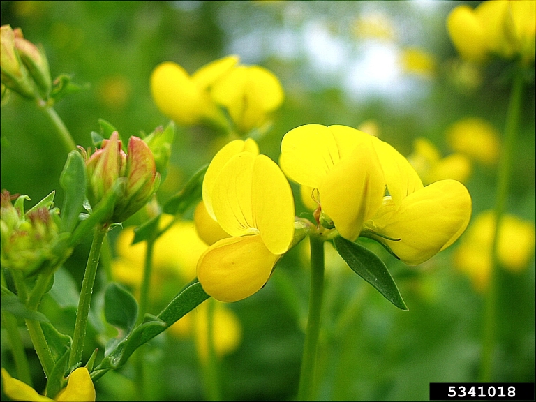 Photo: birdsfoot trefoil, Jan Samanek, Photosanitary Admin. bugwood.org