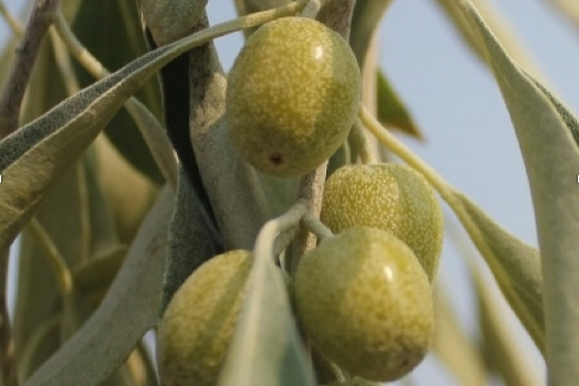 Autumn Olive Closeup.jpg