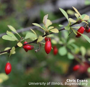 FIGURE 3:  Bright red berries, about 1/3-inch long, mature from late summer to fall and persist through winter.  Photo by Chris Evans, university of illinois, bugwood.org