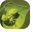 LeafySpurgeThumnails.jpg