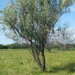 russian-olive-tree.jpg