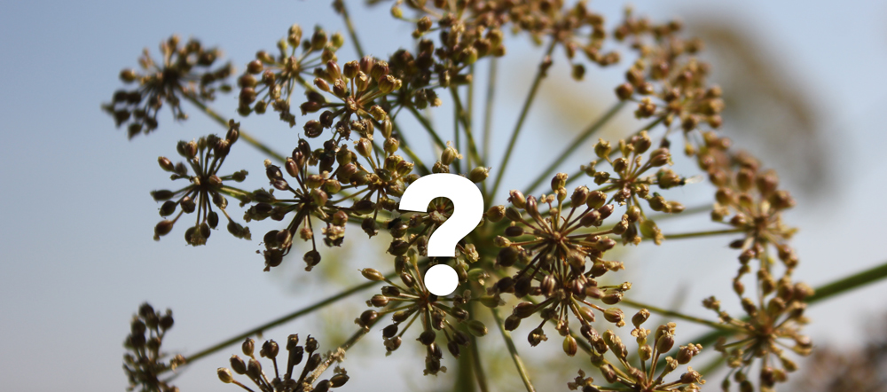 Whats the most poisonous plant in north america techline whats the most poisonous plant in north america mightylinksfo