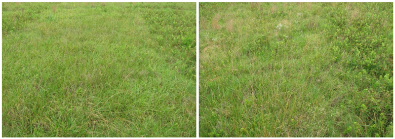 Figure 4:  Blackberry control one year after an October foliar application of Vastlan® specialty herbicide at 2 quarts per acre (left) compared to 1 quart per acre (right). Plots were mowed one year prior to herbicide application. Blackberry regrowth on sides of herbicide-treated plots were mowed only. (Photos courtesy of Pat Burch)