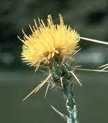 yellow star-dewey-bugwood.jpg