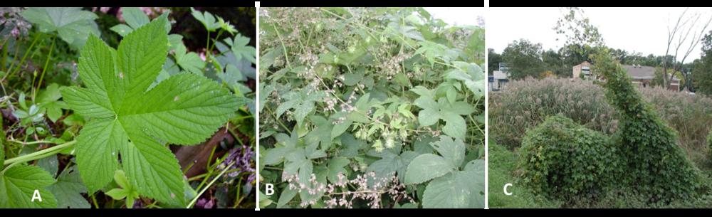 Figure 2: Japanese hop leaf (A); flower (B); and vine covering low shrub and utility line (C). Leaf photo by Chris Evans, Univ Ill., Bugwood; flower and vine by Leslie J. Mehrhoff, Univ Conn., Bugwood.