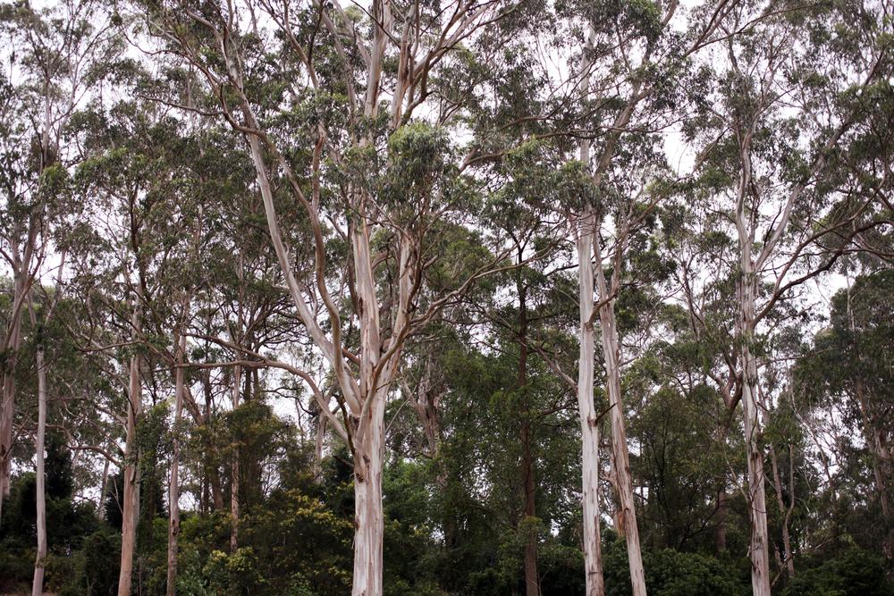 euc trees.jpg