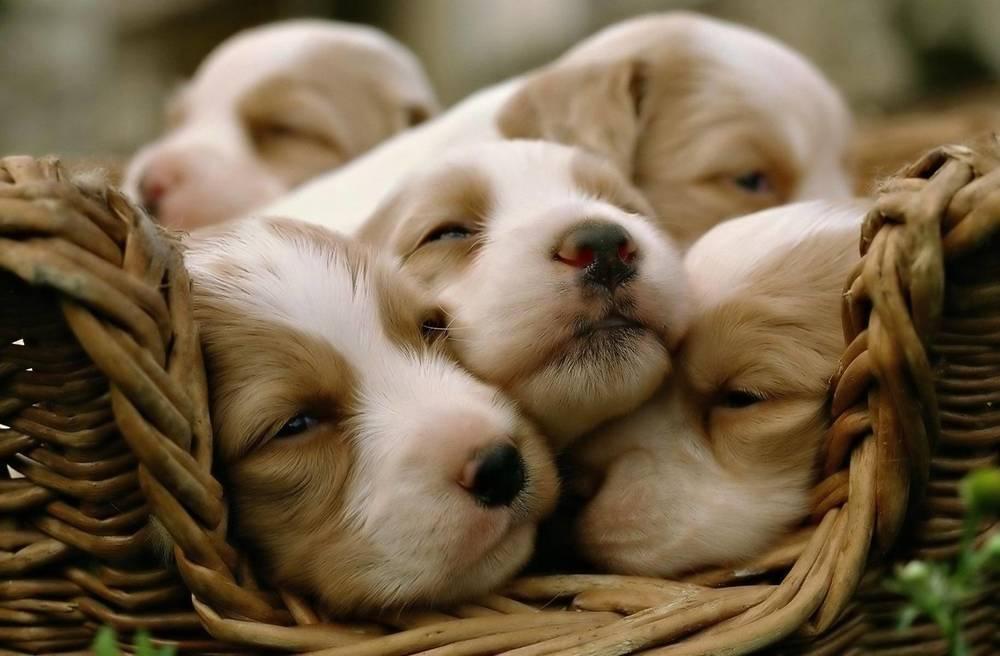 324527-dogs-cute-puppies.jpg