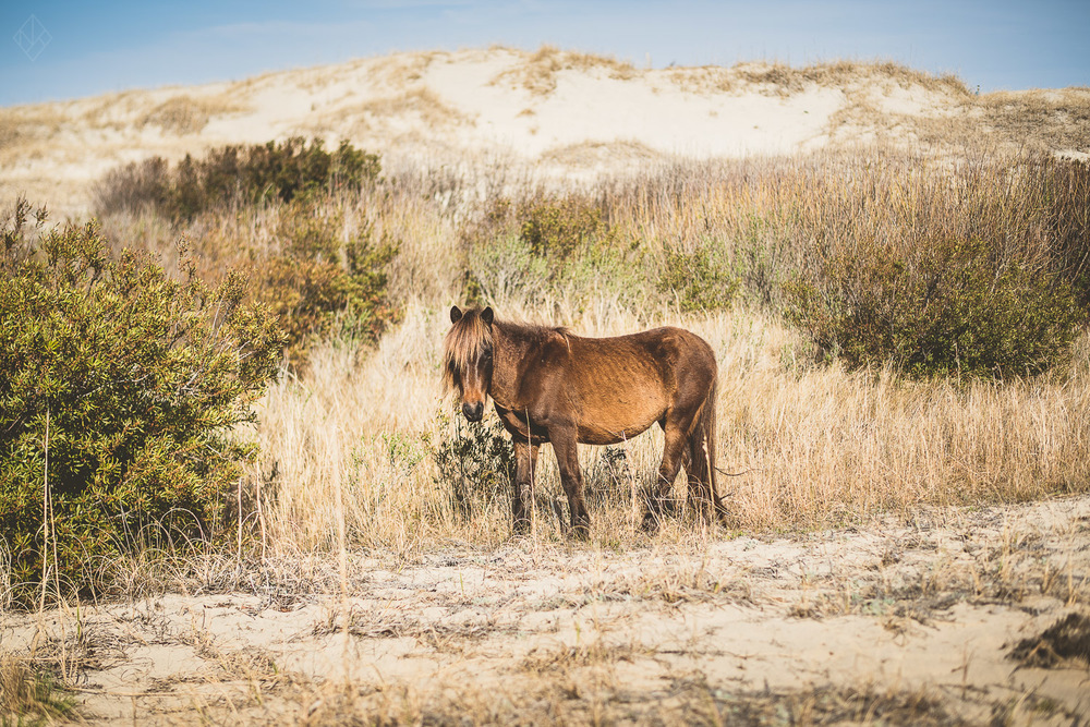 wild horse in Corova North Carolina