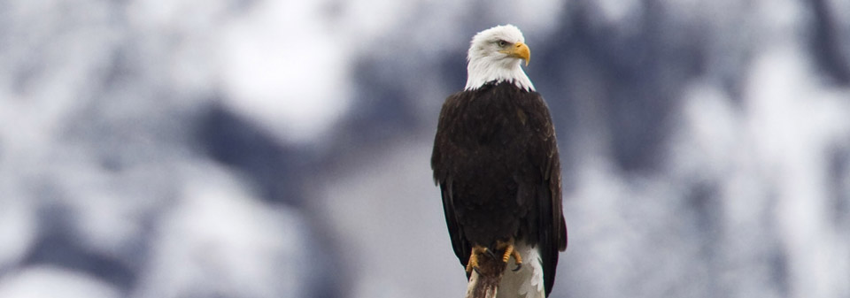 squamish_eagle.jpg