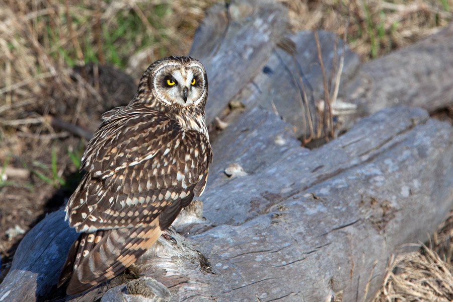 Short Eared Owl, Harrier, Boundary Bay, BC, Canada