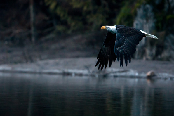 eagles, squamish, bc, canada, wildlife