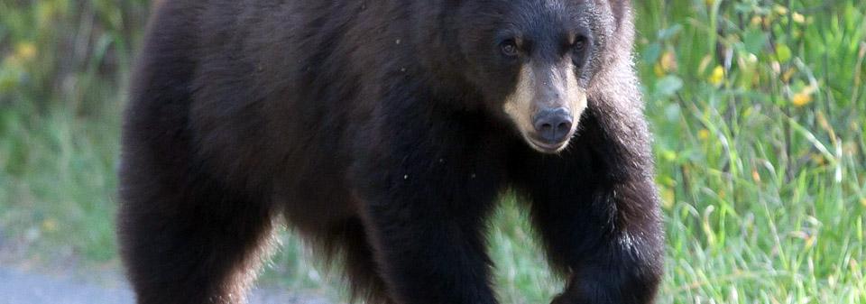 grand_teton_black_bear.jpg
