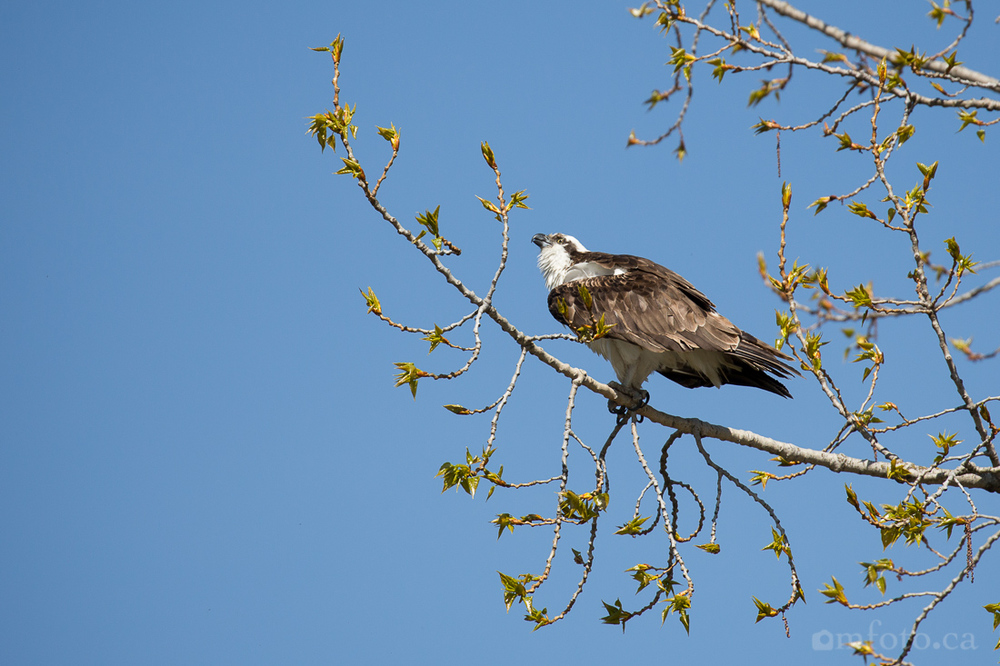 osprey-salmon-arm-2445.jpg